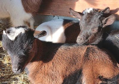 03.-kozy-miniaturowe