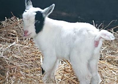 04.-kozy-miniaturowe
