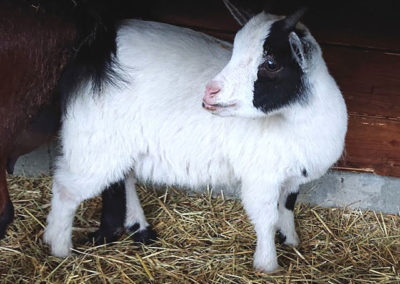 05.-kozy-miniaturowe
