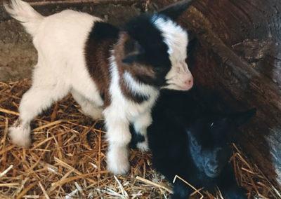 07.-kozy-miniaturowe